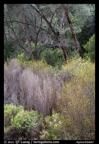 Riparian vegetation in early spring. Pinnacles National Park (color)