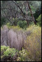 Riparian vegetation in early spring. Pinnacles National Park ( color)