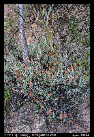 Orange flowers, trees, and cliff. Pinnacles National Park (color)