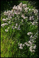 Close-up of spring blooms and grasses. Pinnacles National Park, California, USA. (color)
