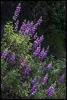 Lupine close-up. Pinnacles National Park, California, USA. (color)