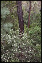 Forest with shrubs in bloom. Pinnacles National Park ( color)