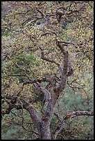 Newly leafed oak tree. Pinnacles National Park, California, USA.