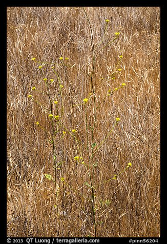 Flowers and grasses. Pinnacles National Park (color)