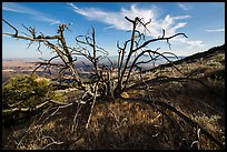 Tree skeleton near South Chalone Peak. Pinnacles National Park, California, USA. (color)