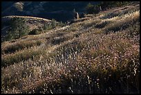 Grasses on hillside, late afternoon. Pinnacles National Park, California, USA. (color)