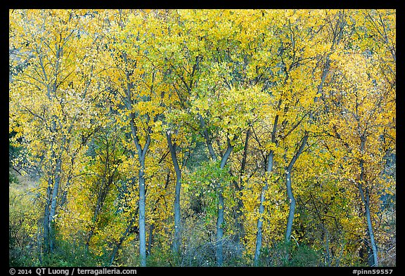 Cottonwoods in autumn along Chalone Creek. Pinnacles National Park (color)