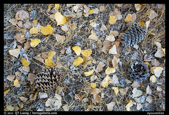 Ground view in autumn with pine cones and fallen cottonwood leaves. Pinnacles National Park (color)