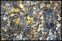 Ground view in autumn with pine cones and fallen cottonwood leaves. Pinnacles National Park ( color)