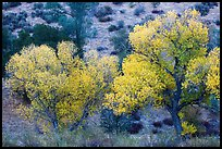 Cottonwoods in autumn at the bases of hill. Pinnacles National Park ( color)