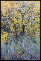 Shrubs and cottonwoods in autumn. Pinnacles National Park ( color)