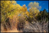Shrubs and trees in autumn against blue sky, Bear Valley. Pinnacles National Park ( color)