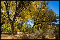 Group of cottonwoods trees in autumn. Pinnacles National Park ( color)