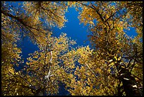 Looking up trees in autumn foliage. Pinnacles National Park ( color)