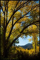 Hills framed by trees in autumn foliage. Pinnacles National Park ( color)
