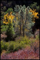 Fall foliage along Bear Gulch. Pinnacles National Park, California, USA.