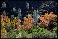 Evergreens and deciduous trees in fall foliage along Bear Gulch. Pinnacles National Park, California, USA.