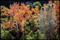 Sycamores and evergreens in autumn along Bear Gulch. Pinnacles National Park, California, USA.
