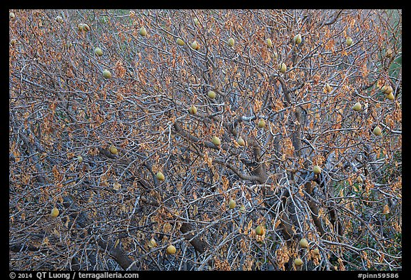 Buckeye branches and nuts in autumn. Pinnacles National Park (color)
