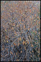 Buckeye branches and fruits in autumn. Pinnacles National Park ( color)