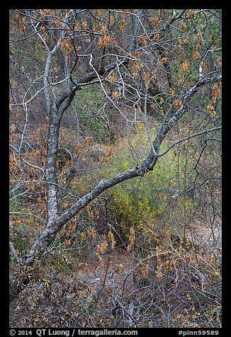 Branches above Dry Chalone Creek in autumn. Pinnacles National Park (color)
