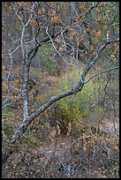 Branches above Dry Chalone Creek in autumn. Pinnacles National Park ( color)