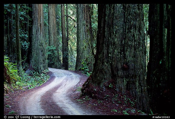 Twisting Howland Hill Road, Jedediah Smith Redwoods. Redwood National Park (color)