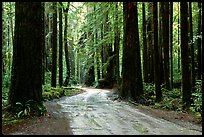 Back rood amongst redwood trees, Howland Hill, Jedediah Smith Redwoods. Redwood National Park, California, USA. (color)