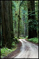 Winding Howland Hill Road, Jedediah Smith Redwoods. Redwood National Park, California, USA.