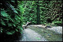 Fern Canyon with Fern-covered walls. Redwood National Park, California, USA. (color)