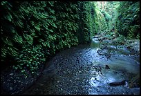 Fern-covered walls, Fern Canyon. Redwood National Park, California, USA. (color)