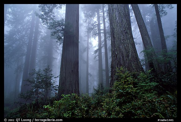 Looking up tall coast redwoods (Sequoia sempervirens) in fog. Redwood National Park (color)