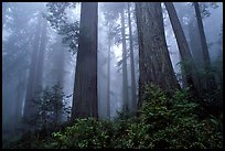 Looking up tall coast redwoods (Sequoia sempervirens) in fog. Redwood National Park ( color)