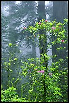 Rododendrons, coast redwoods, and fog, Del Norte. Redwood National Park, California, USA.