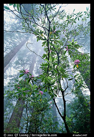 Looking upwards redwood forest in fog through rododendrons, Del Norte. Redwood National Park, California, USA.