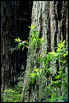 Redwood trunk and rododendron. Redwood National Park, California, USA. (color)