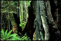 Hollowed redwoods and ferns, Del Norte. Redwood National Park, California, USA.