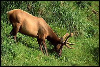 Roosevelt Elk, Prairie Creek. Redwood National Park, California, USA.