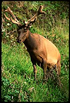 Roosevelt Elk, Prairie Creek. Redwood National Park, California, USA. (color)