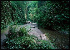 Stream and walls covered with ferns, Fern Canyon. Redwood National Park ( color)