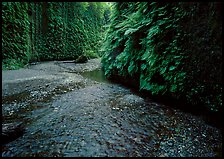 Narrow Fern Canyon with stream and walls covered with ferms,. Redwood National Park, California, USA.