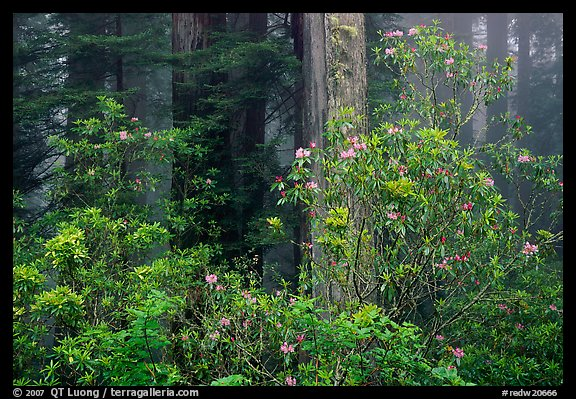 Rhododendrons in coastal redwood forest with fog. Redwood National Park, California, USA.