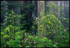 Rhododendrons in coastal redwood forest with fog. Redwood National Park, California, USA. (color)