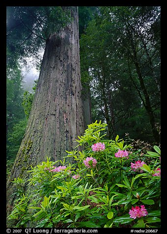 Rhododendron flowers at  base of large redwood tree. Redwood National Park, California, USA.