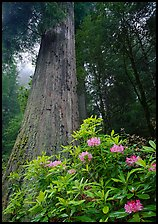 Rhododendron flowers at  base of large redwood tree. Redwood National Park, California, USA. (color)