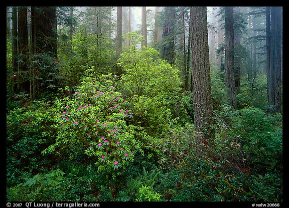 Rododendrons in bloom in redwood grove, Del Norte. Redwood National Park (color)
