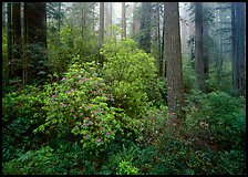 Rododendrons in bloom in redwood grove, Del Norte. Redwood National Park, California, USA.