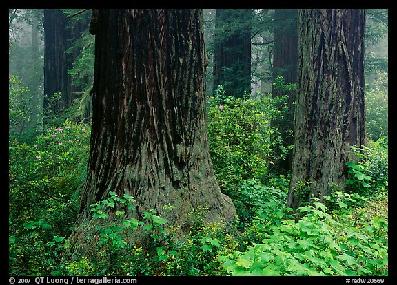 Redwood (scientific name: sequoia sempervirens) trunks in fog. Redwood National Park, California, USA.