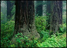Redwood (scientific name: sequoia sempervirens) trunks in fog. Redwood National Park ( color)