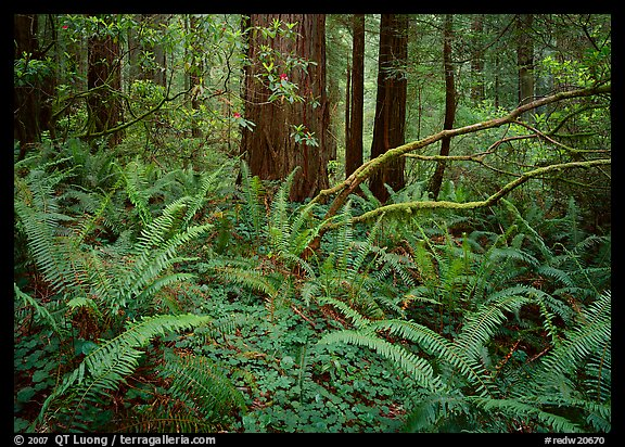 Ferms and trees in the spring, Del Norte. Redwood National Park (color)
